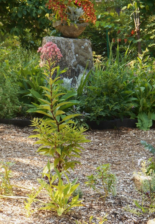 Joe Pye Weed planted about a month ago is growing well now.