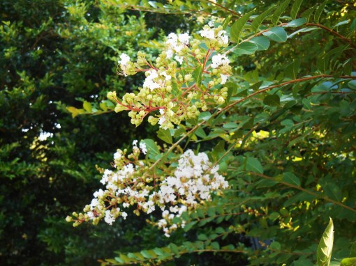 First Crepe Myrtle blooms of the season open on this favorite tree>