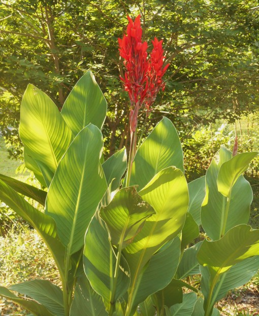 Canna, gift from a friend's garden, survived our harsh winter.