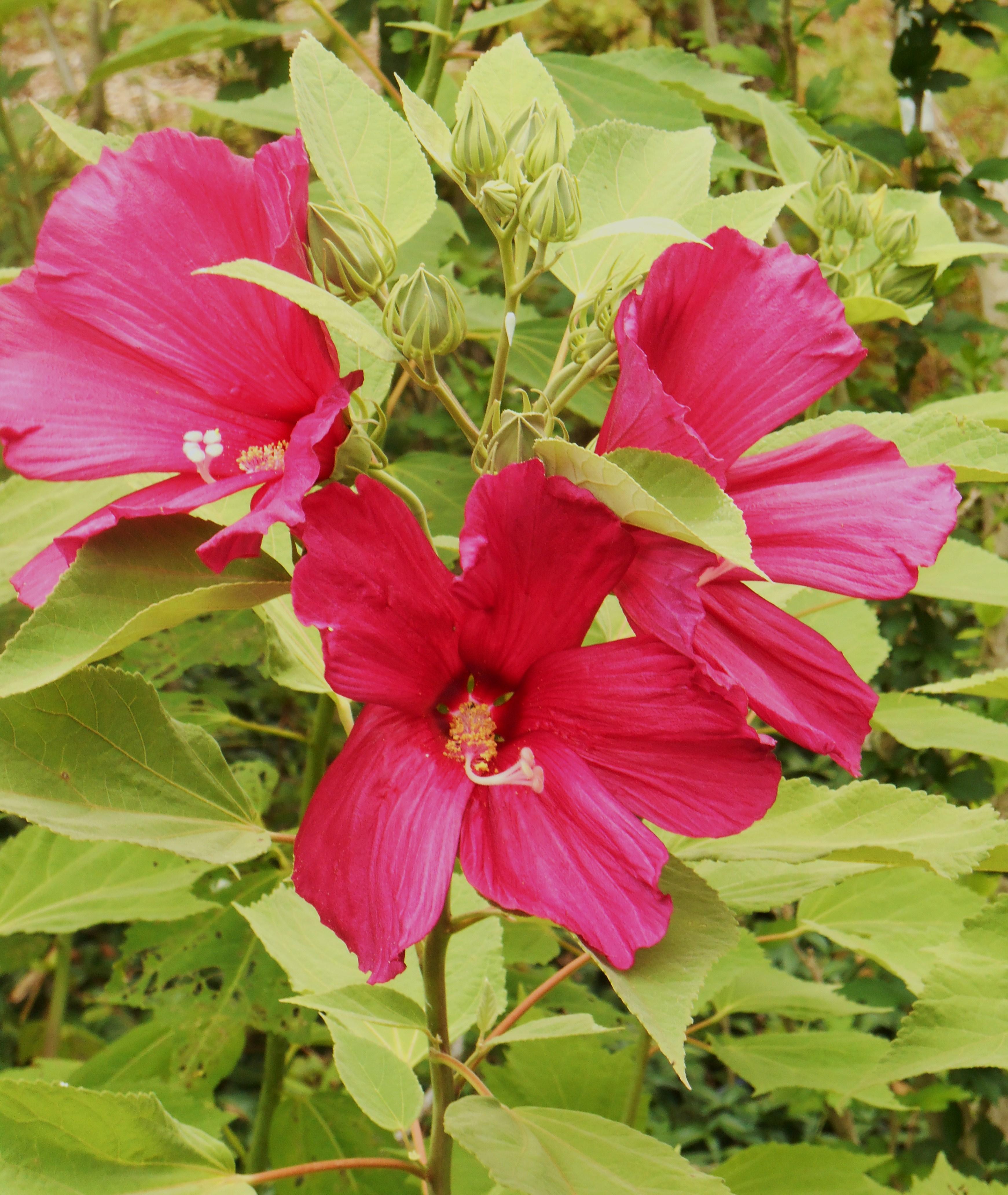 July Hibiscus