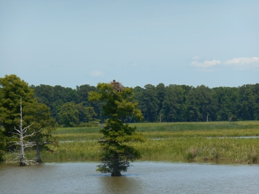 A Bald Eagle nest near Jamestown Island, Virginia.