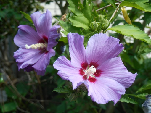 Tree Hibiscus, Rose of Sharon