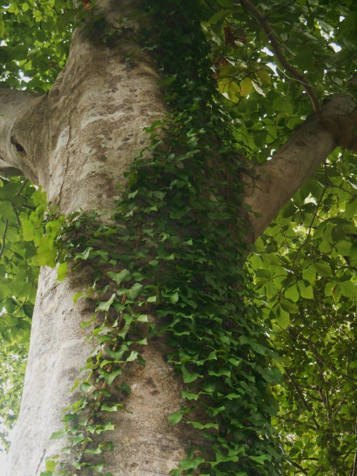 Beech Tree With Ivy, August