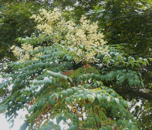 The Devil's Walking Stick, , Aralia spinosa, is in full bloom now, and is covered by bees.  Notice the leaves beginning to change colors.