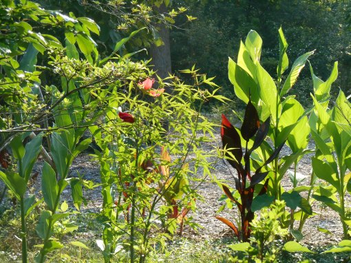 Morning sun shines through the Hibiscus and Cannas, illuminating their leaves like stained glass.