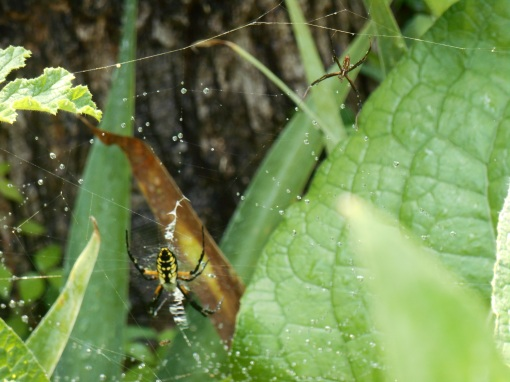 The larger female spider, with yellow markings, is joined on the web by a more slender male spider.  These non-poisonous spiders garden spiders are common throughout most of the United States.
