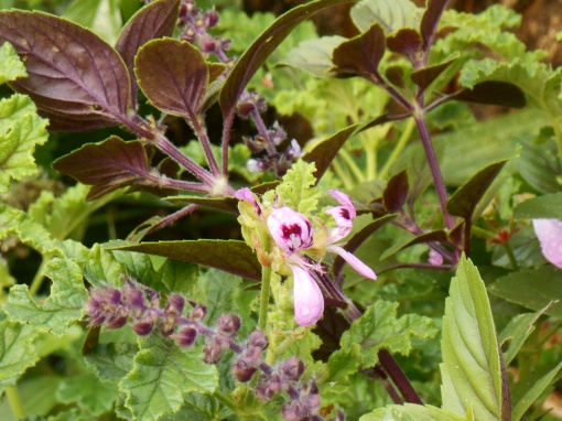 Basil grows here beside scented Pelargonium.