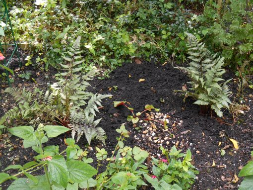 Divisions of Japanese Painted Fern and Hardy Begonia will spread to fill the shadiest portions of the butterfly garden.