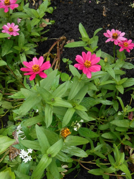 Zinnias and Penta, on the front edge of the bed, got a bit dirt covered during the great weeding....