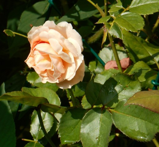 Our mild weather has been kind to the roses this summer.
