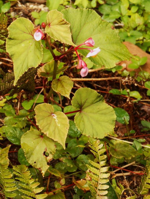 Hardy Begonia begins its season of bloom in August, and blooms until frost. Here, on a shady bank.