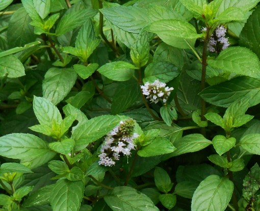 Chocolate mint in bloom