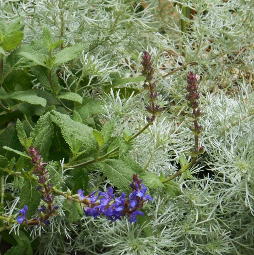 Salvia nemerosa with Artemesia