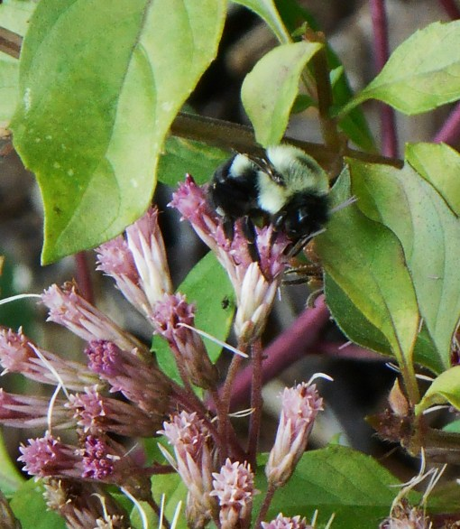 Bumblebee on Joe Pye Weed