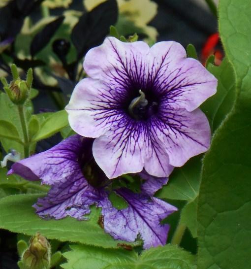 August 19, 2014 lavender 023