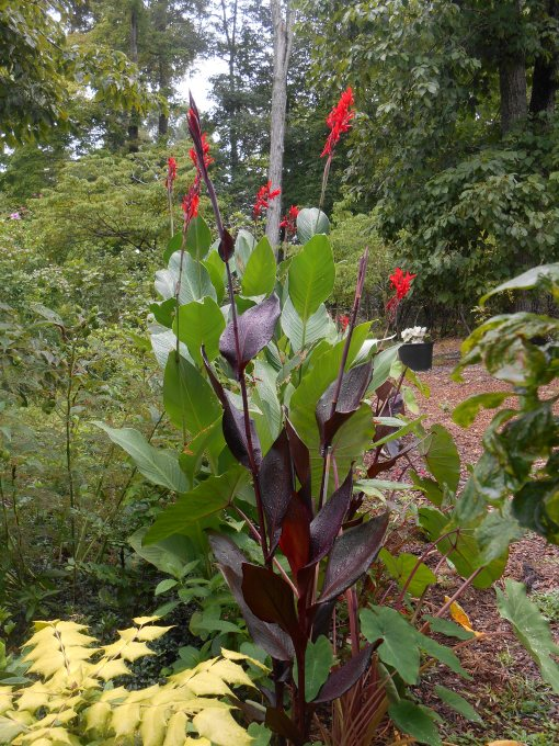 Cannas fill in this border nicely, Colocasia, Sages, and Lantana at their feet and Hibiscus behind.