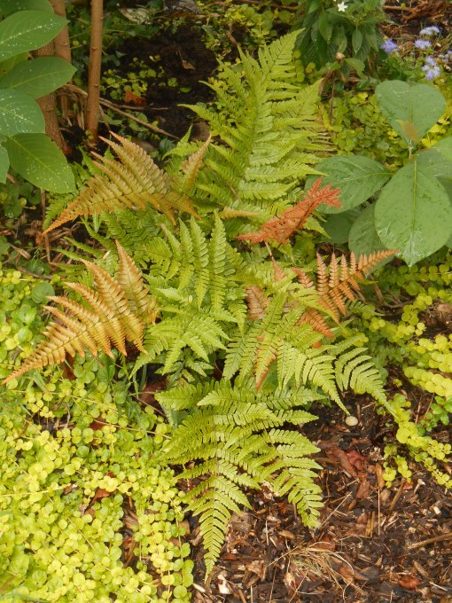 "Autumn ""Brilliance"" Fern with Creeping Jenny"