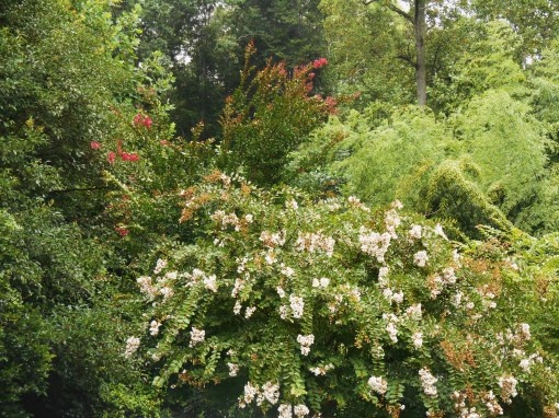 Forest Garden in this afternoon's rain.  All of our Crepe Myrtle trees, save one, have come into bloom.