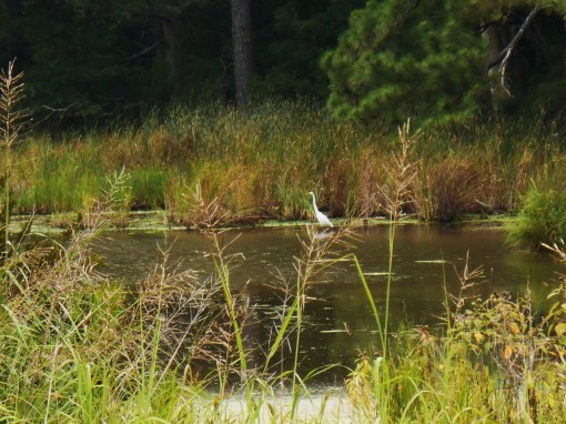 A white egret wades in a pond along the Colonial Parkway this afternoon.