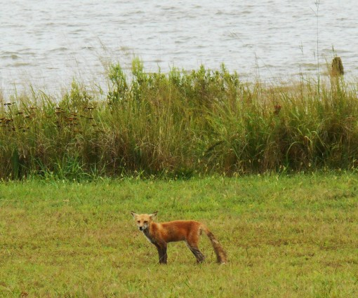 The fox who came out near Jamestown  Island this afternoon.