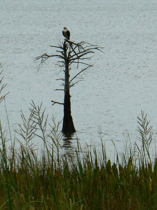 Osprey Eagle on the James River today.