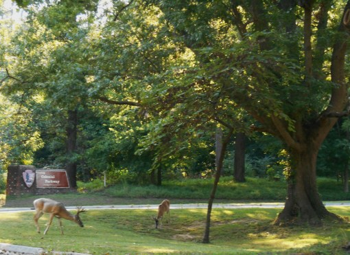 The large tree to the right is an oak, and the deer are grazing for acorns.