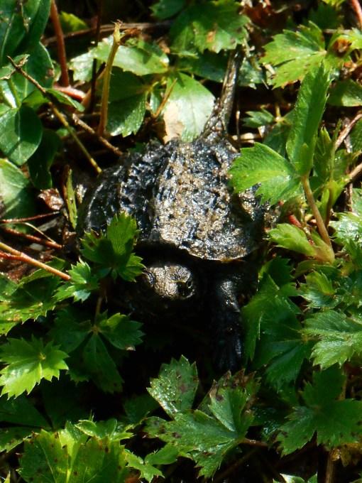 August 28, 2014 turtles 002