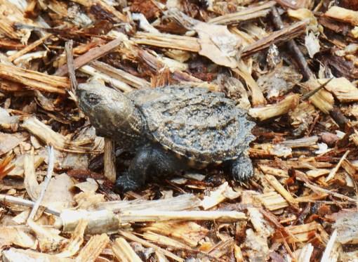 August 28, 2014 turtles 006