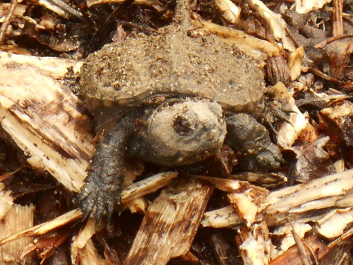 August 28, 2014 turtles 028