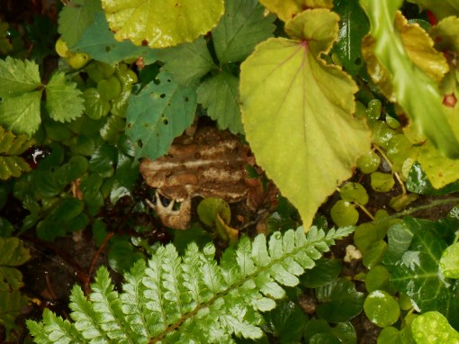 Toad, found laying her eggs in the garden yesterday morning.