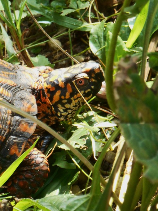 This Box Turtle was waiting for me in the lower garden when I arrived, later, to water.