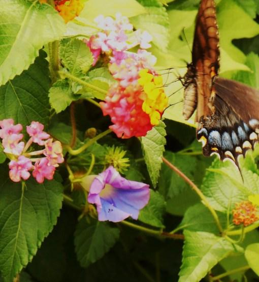 August 3, 2014 butterflies 015