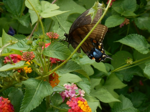 Lantana attracts many species of nectar loving wildlife to our garden.