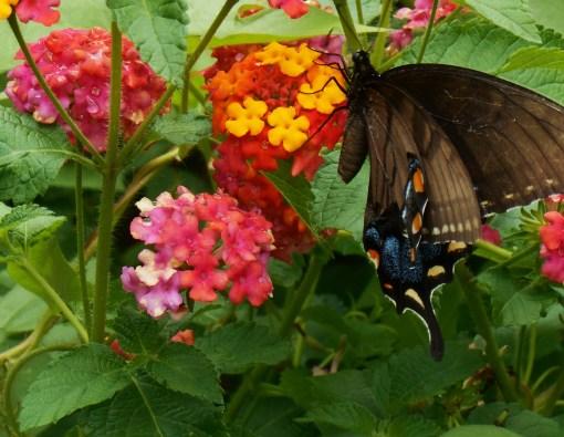 August 3, 2014 butterflies 018