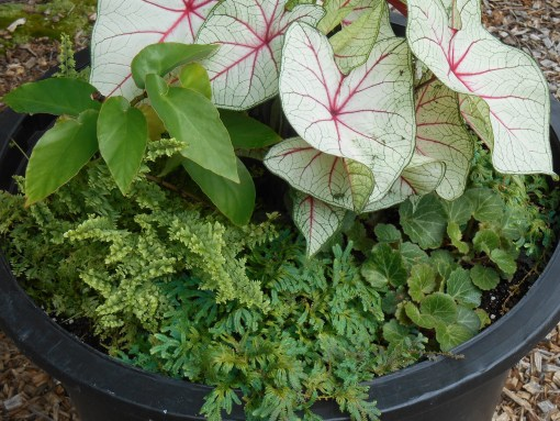 Spikemoss is a plant we've just begun using as groudcover in pots and beds.