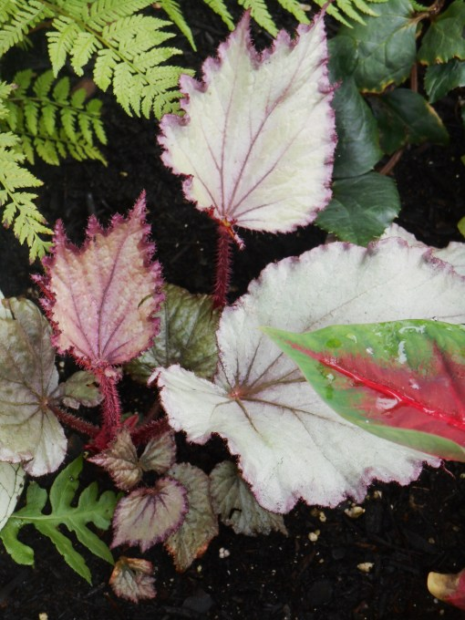 "This Begonia, purchased from The Homestead Garden Center several seasons ago, is similar to Plant Delight's ""Pewterware"" Begonia, hardy to Zone 8B."