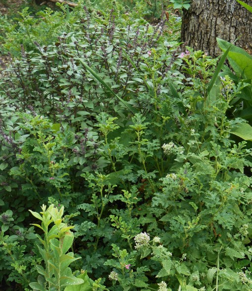"Basil, ""African Blue"" grows in a bed of plants chosen to be distasteful to deer."