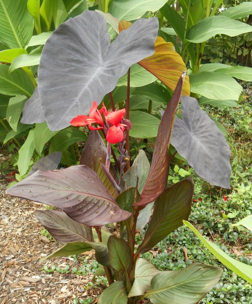 Huge Cannas and Colocasia chosen as a screen between home and road have interesting leaves.  The Cannas also produce wildlife friendly red flowers.