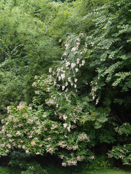 This butterfly tree and Crepe Myrtle, volunteers growing along the ravine, normally attract dozens of butterflies each day during the weeks they bloom each summer.