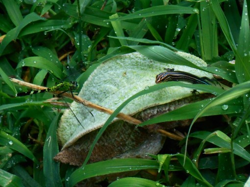 A dragonfly and Five Line Skink meet on a leaf of Lamb's Ears.