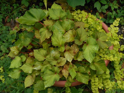 Perennial Begonia, planted last autumn as cuttings, fills this bowl.