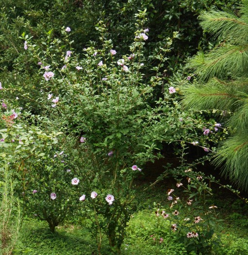 Rose of Sharon has grown to overshadow our original butterfly garden.