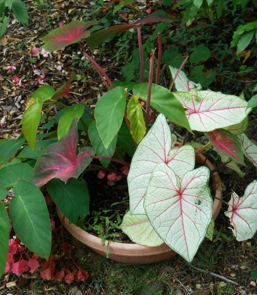 These Caladiums are supposed to be poisonous, and therefore left alone by deer.... But something ate them....