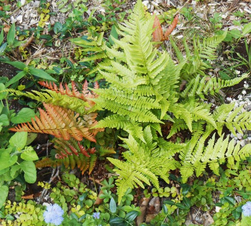"Autumn ""Brilliance"" Fern"