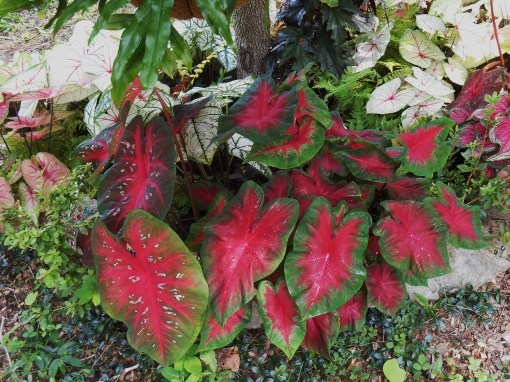 Caladiums and other poisonous plants can grow mostly in peace in gardens plagued by deer.