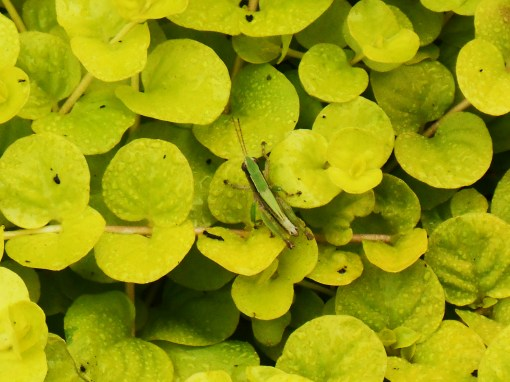 "A grasshopper ""hides out"" on Creeping Jenny."