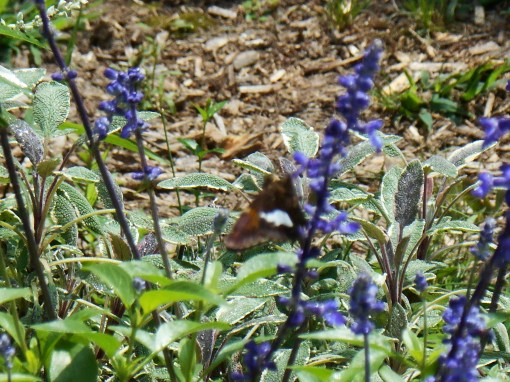 Painted Lady on Salvia