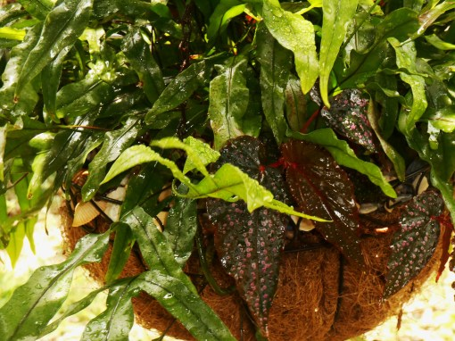 Staghorn Fern with Begonia