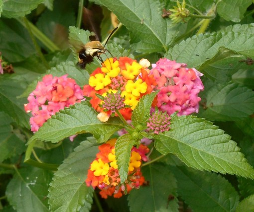 August 9, 2014 hummingbird moth 069
