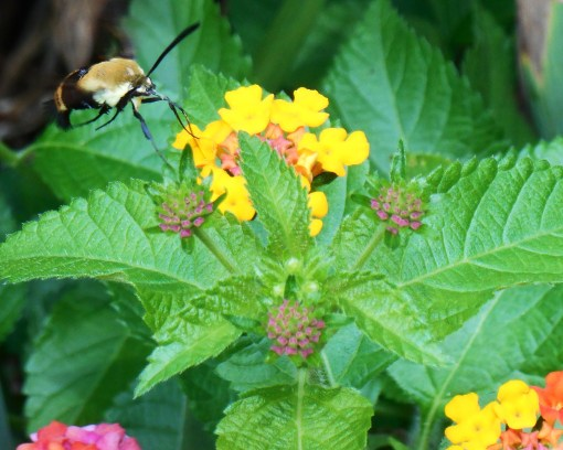 August 9, 2014 hummingbird moth 073